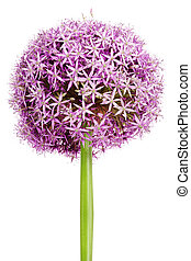 Allium, Purple garlic flowers - Allium flower head detail,...