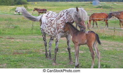 Small brown foal and spotty mare