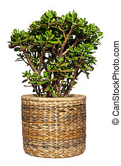 Dollar plant or money tree cutout - Dollar plant Crassula...