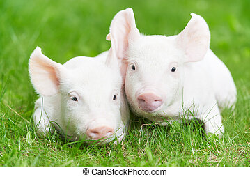 young piglet on green grass - Two young piglet on green...