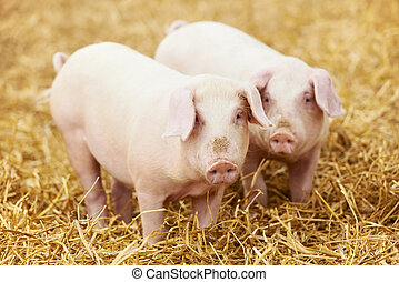 young piglet on hay at pig farm - Two young piglet on hay...