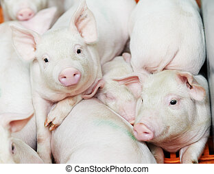 young piglet at pig farm - group of young piglet at pig...