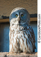 Closeup portrait of an owl Strix uralensis - Closeup...