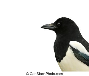 Magpie - One Isolated magpie with a white background