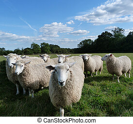A Small Flock of Young Romney Sheep in a Field and Blue Sky