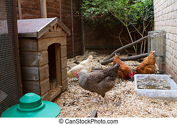 Pet chickens in their run in an english garden next to their...