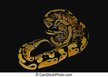 Ball Python - Curled Up Ball Python Illustration