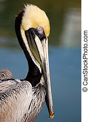 Brown Pelican - Adult Brown Pelican Profile