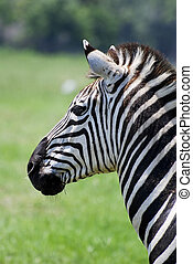 Zebra Profile - Plains Zebra Profile