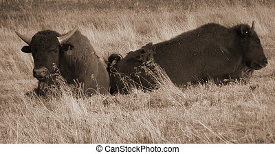 Sepia Buffalo Pair in Wyoming. Bison pair are laying in tall...