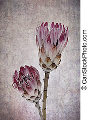 Proteas - Heads of two protea flowers, vintage effect...