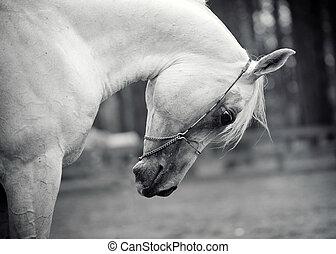white horse - white arabian horse