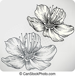 Flower apricots, hand-drawing. Vector illustration