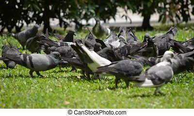 pigeon - a group of pigeons strolling around looking for...