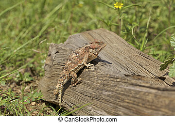 Arizona Horned Toad - a colorful arizona horned toad on a...