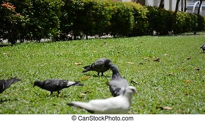 pigeon - a flock of pigeon feeding on a green field