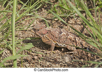 Arizona Horned Toad - a colorful arizona horned toad