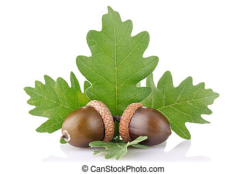 ripe acorn with green leaves isolated on white background