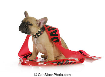 naughty dog - french bulldog with silly expression wrapped...