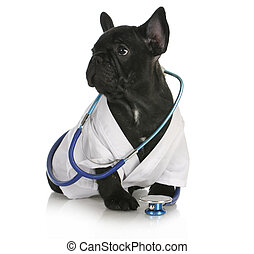 veterinary care - french bulldog dressed up like a vet on...