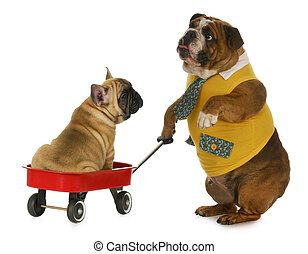 dog pulling a wagon - english bulldog pulling a wagon with a...