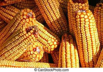 Ear corn - Corn ready for shelling