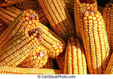 Ear corn - Corn ready for shelling