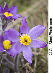 Pasque flower - Common pasque flower (pulsatilla vulgaris),...
