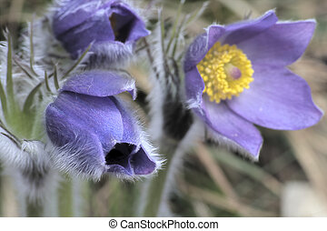 Pasque flower - Common pasque flower pulsatilla vulgaris,...