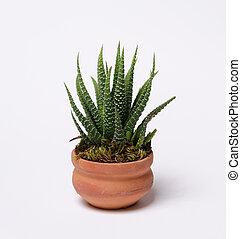 agave, planta