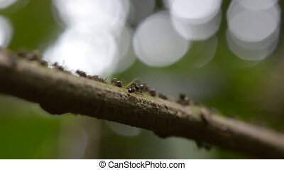 ants - a stream of busy ants