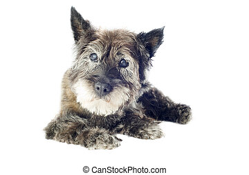 cairn terrier - senior cairn terrier, 14 years old, in front...