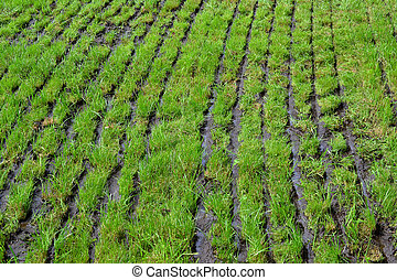 Grassland which slurry is injected. - The farmer has...