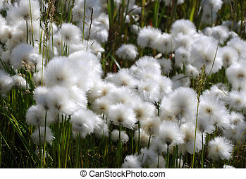 Flowering cottongrass Eriophorum - Flowering cotton grass in...