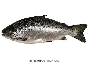 Fresh salmon isolated on white background