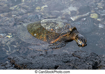 Big Island Sea Turtle - Sea turtle searches for algae along...