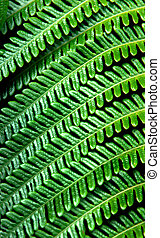 Big Island Fern - Background image of green tropical fern...