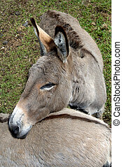 Affectionate Animal Friends - Two donkeys in the Panaewa...