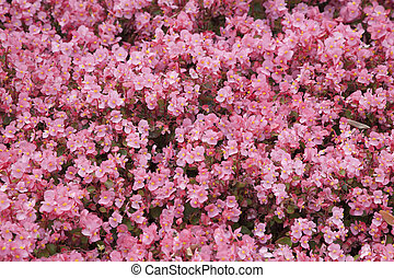 background of pink begonias
