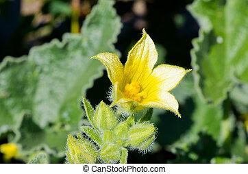 Yellow flower of wild cucumber echinocystis lobata