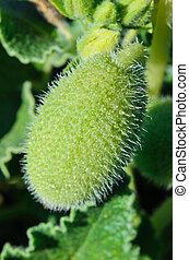 Wild cucumber echinocystis lobata