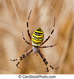 Yellow-black spider in her spiderweb - Argiope bruennichi