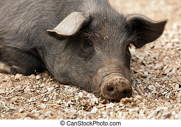 wild black pig - portrait of wild pig lying in forest ground