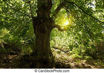 big chestnut tree under summer sunlight
