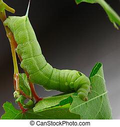 Caterpillar on a grape leaf.
