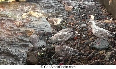 Sea gulls squabbling for food close to a stream