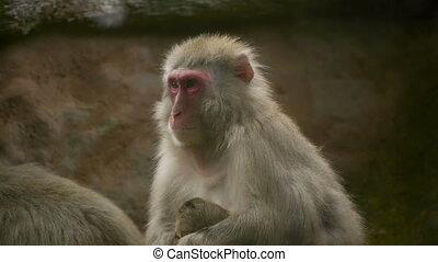 HD - Macaque