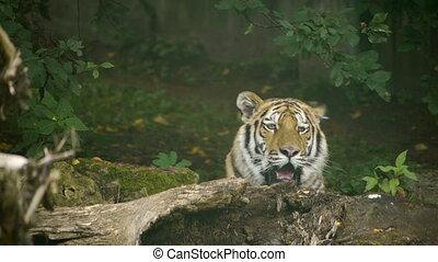 HD - Tiger in the jungle
