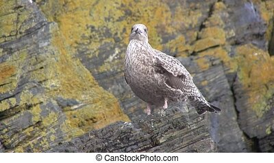 Sea gull perched on a rock.