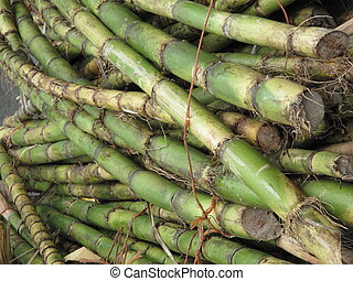 Sugarcane - Raw stalks of tropical raw sugar cane in the...